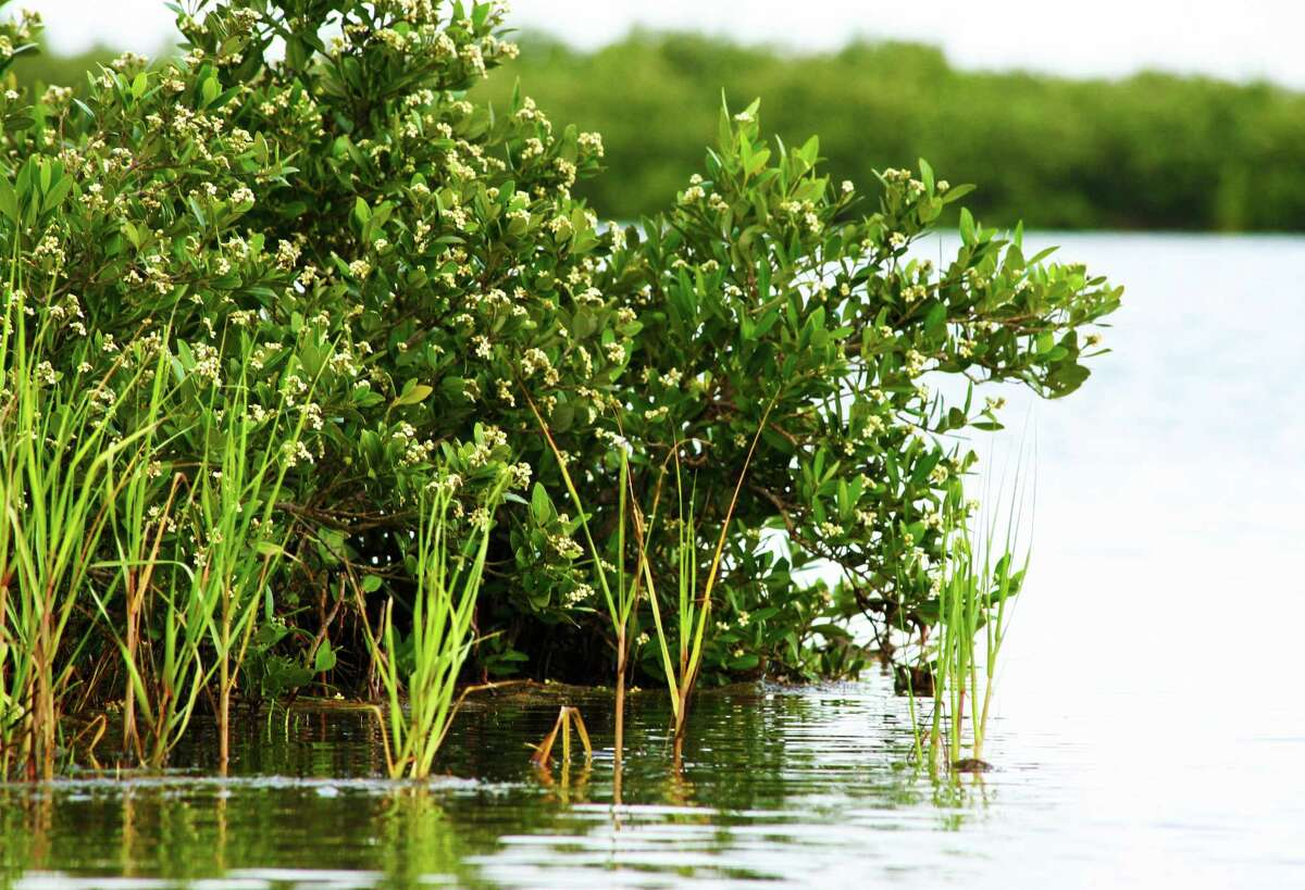 A string of winters with little or no freezing temperatures has seen tropical black mangrove expand its range and abundance in Texas, taking over intertidal habitat once dominated by smooth cordgrass and other native vegetation.