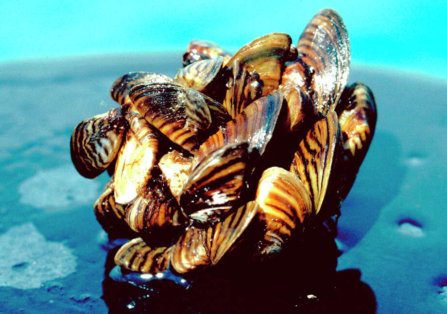 These damned mollusks are ruining my fishing trip. Photo: HO / U.S. Department Of Agriculture