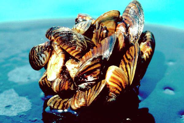 Zebra mussels