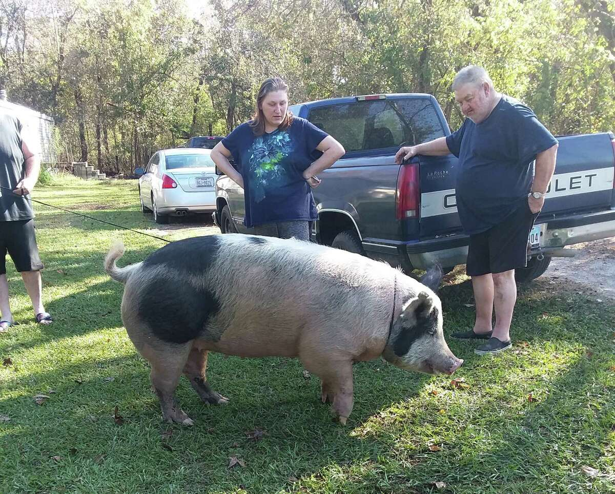 Neighbors of Miss Piggie kept her secured with a dog leash after her capture in her Dayton community.