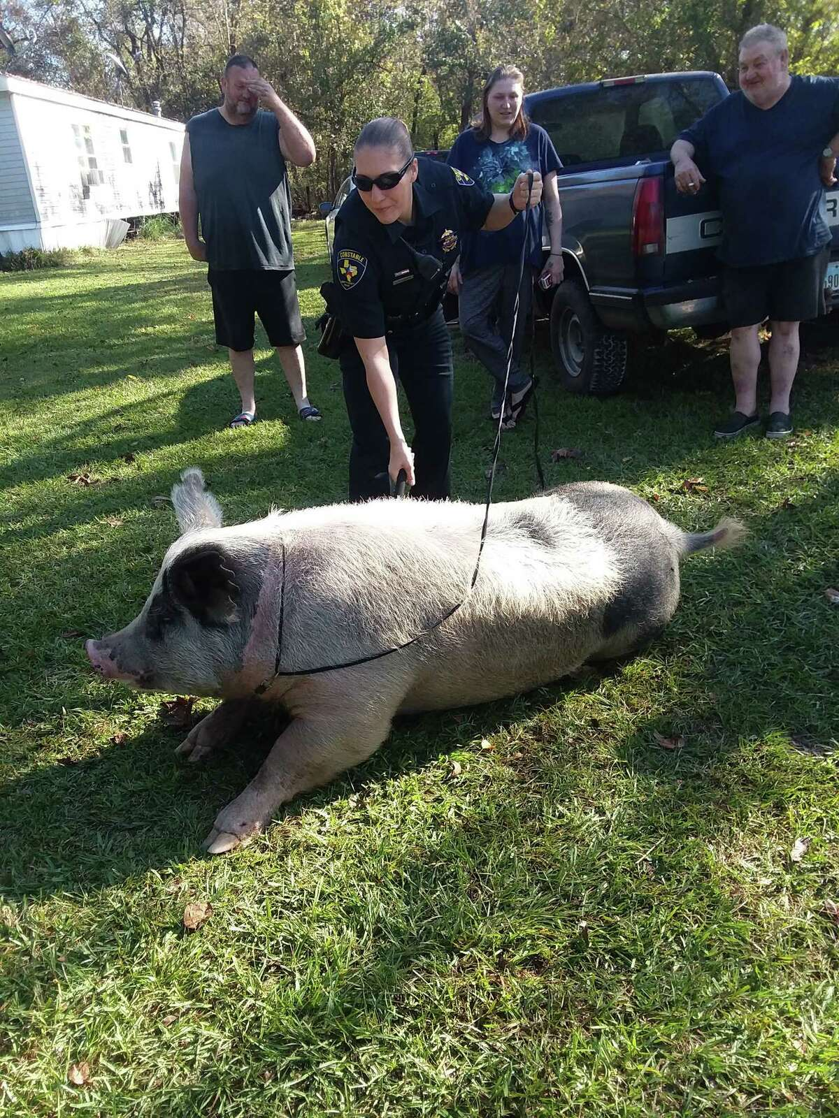 A pet pig escaped its pen on Nov. 30 and took a stroll through a Dayton neighborhood before being captured and returned home.