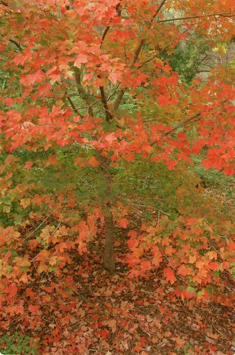 The fall color of the Chalk maple tree delights visitors to the Houston Arboretum. Photo: E. JOSEPH DEERING, STAFF / HOUSTON CHRONICLE