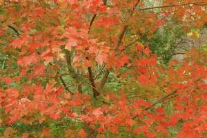 The fall color of the Chalk maple tree delights visitors to the Houston Arboretum.