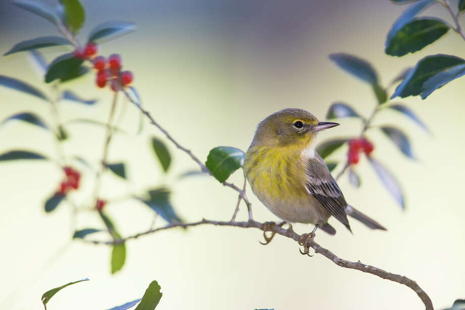 During the 118th annual Christmas Bird Count, volunteer bird-watchers will be counting area birds, including the pine warbler. Photo: KATHY ADAMS CLARK / KATHY ADAMS CLARK