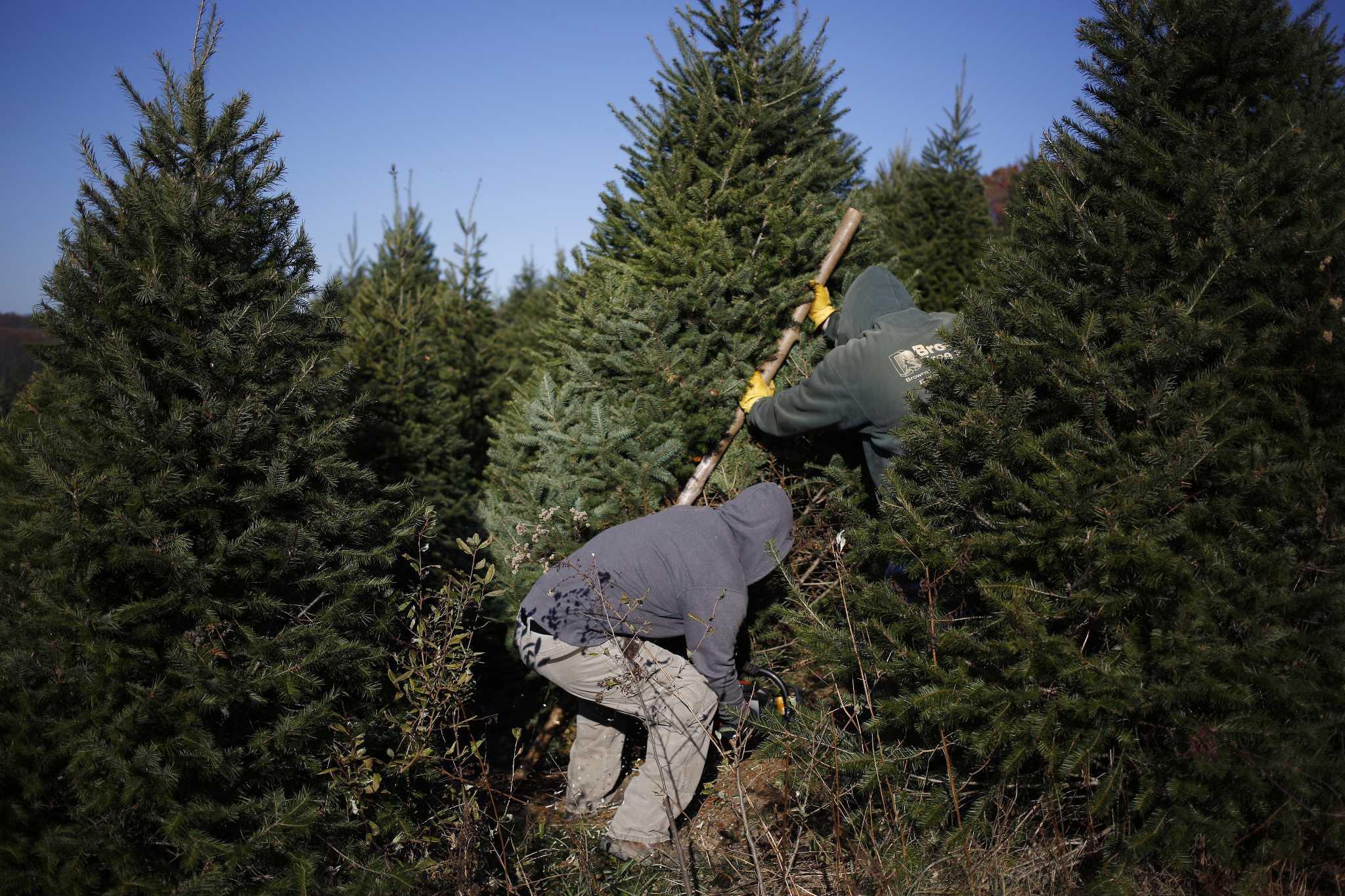 Christmas Tree In Danbury Ct