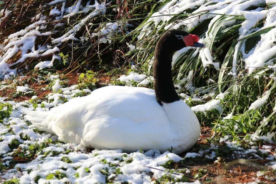 Black necked swan Photo: San Antonio Zoo
