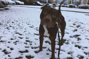 Whiskey wouldn't stay still long enough for a photo with all this crunchy white stuff under his paws. Photo in Beaumont. Krista Chandler/The Enterprise