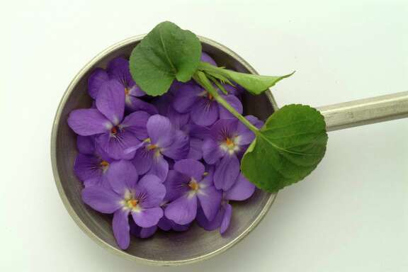 Violets. Viola Odorata. Viola Mammola.