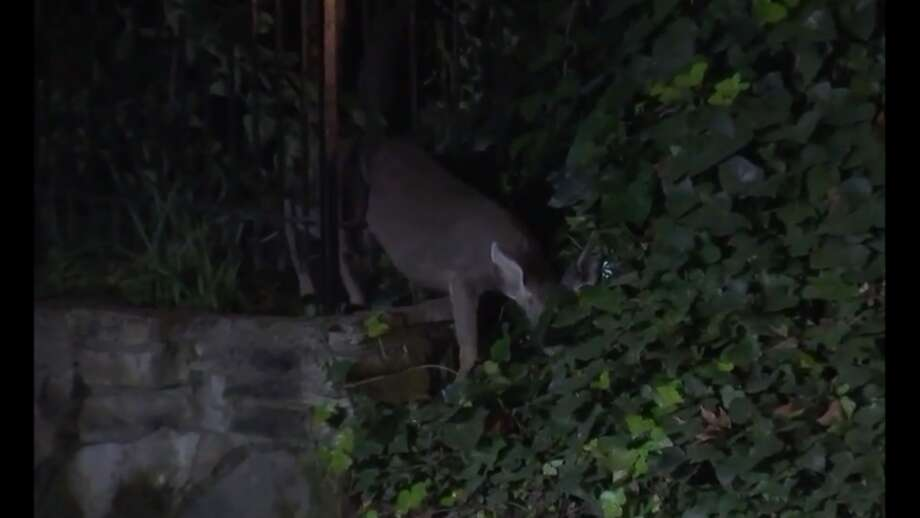 A deer got stuck in a fence in Piedmont, KTVU reported. Click through the story to see more animal stories from the past year. Photo: Chip Vaughan/KTVU