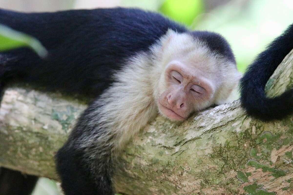 White-faced capuchin monkeys at Manuel Antonio National Park.