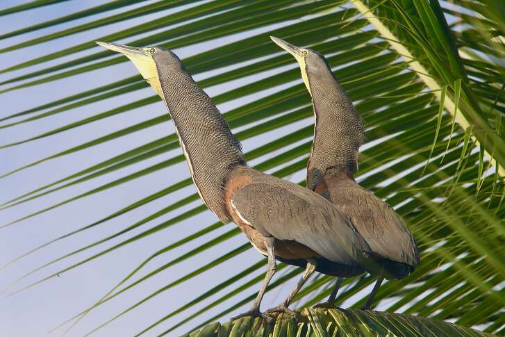 A pair of bare-throated tiger herons reign over a palm tree on Coiba Island.