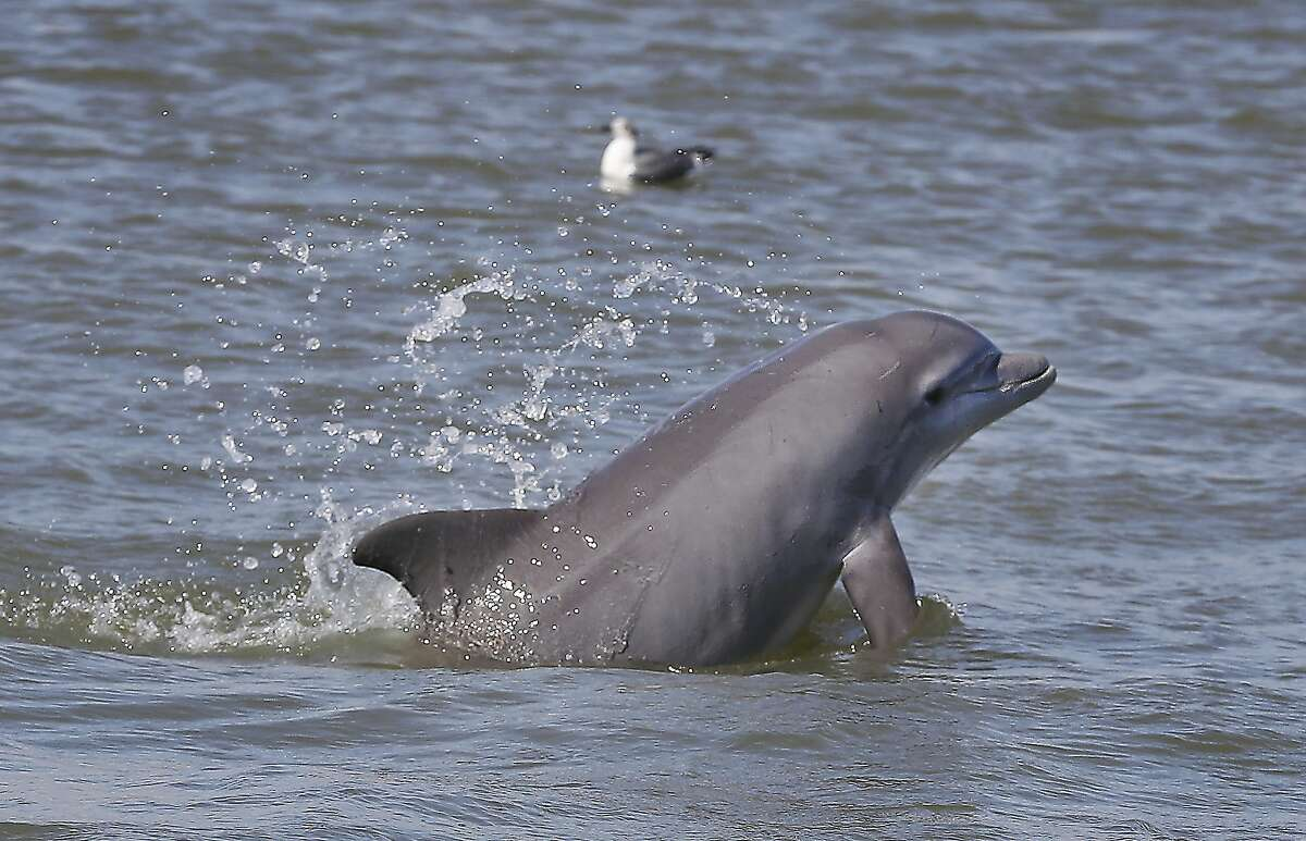 Last Friday, scientists from the National Oceanic and Atmospheric Administration said that over 260 Dolphins have been stranded along the Gulf Coast and that roughly 98 percent of them have died.  (Steve Gonzales/Houston Chronicle via AP)
