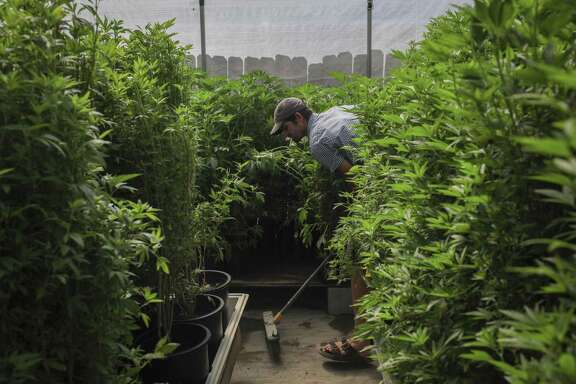 Joe Leaf, a gardener at the marijuana clone farm Wonderland Nursery in Garberville (Humboldt County), sweeps muddy water out of a greenhouse full of marijuana in 2015. Lt. Gov. Gavin Newsom visited the nursery that year to explore the potential of legalization.