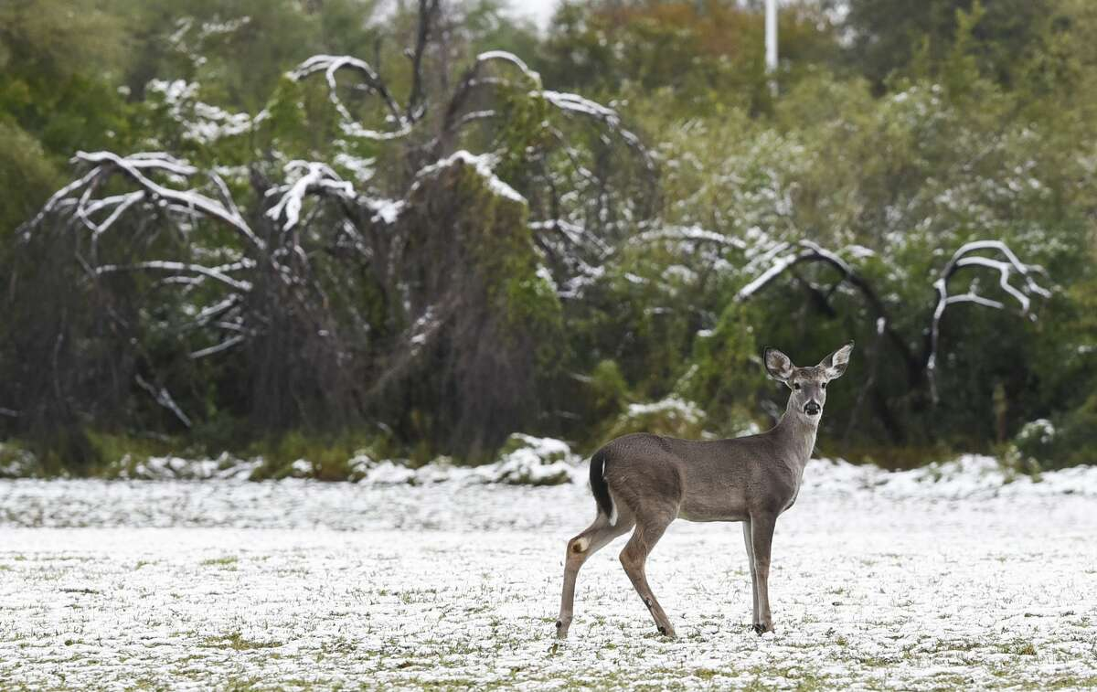 A doe walks through a snowy field behind the Sue & Radcliffe Killam Library at TAMIU on Friday, Dec. 8, 2017 after a night of snowfall.