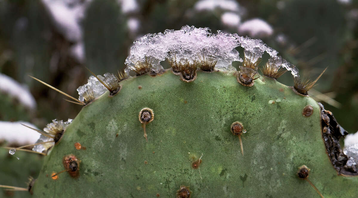 A cactus at the Bartlett Soccer Complex is capped in ice as Laredo recorded its first snowfall since 2004 overnight Friday, December 8, 2017.