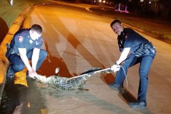 An alligator in Cross Creek Ranch was relocated by Fulshear police officers overnight on Dec. 4.