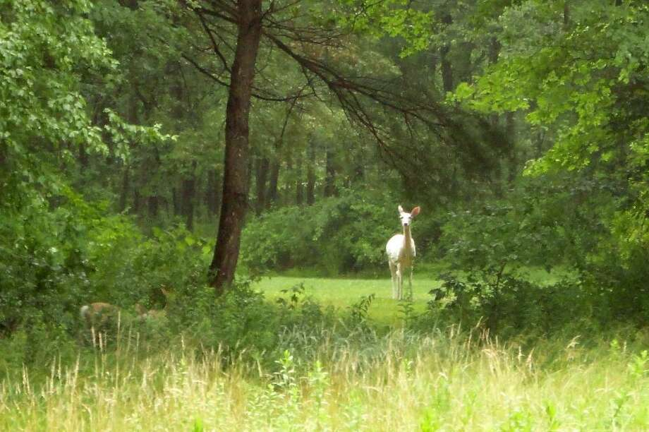 Photo taken by Joe Novella of an albino deer spotted near Redding Road in Westport CT on Monday June, 28, 2010. Photo: Contributed Photo\Joe Novella / Connecticut Post Contributed