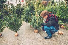 Choosing a Christmas tree   Expectation:  It will be a chilly, beautiful wintry night to stroll through lines of trees and choose the perfect specimen.  Reality:  You will marvel at the outrageous Christmas tree prices while sifting through piles in the home improvement store parking lot. Also, it will be 85 degrees and humid.