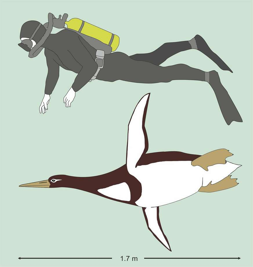 Researchers announced their find of fossils from approximately 60 million years ago that were about 5 feet, 10 inches long when swimming, and 223 pounds. They believe these penguins died out when large marine mammals like toothed whales and seals hunted them. Photo: Gerald Mayr, Associated Press