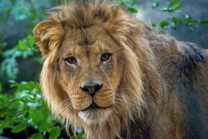 Christmas came a little early for the Houston Zoo this week as they welcome a new lion into the family. The 400-pound male lion named Hasani originally comes from the Oregon Zoo. The burly three-year-old is currently getting used to his new habitat and the three resident lionesses.  See more photos of this majestic-looking new Houstonian...