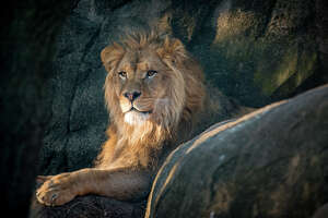 Christmas came a little early for the Houston Zoo this week as they welcome a new lion into the family. The 400-pound male lion named Hasani originally comes from the Oregon Zoo. The burly three-year-old is currently getting used to his new habitat and the three resident lionesses.