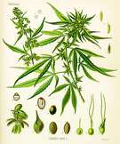 Cannabis sativa by Hermann Adolf K�hler, from a print made in 1887.  Image: Hermann Adolf Kohler