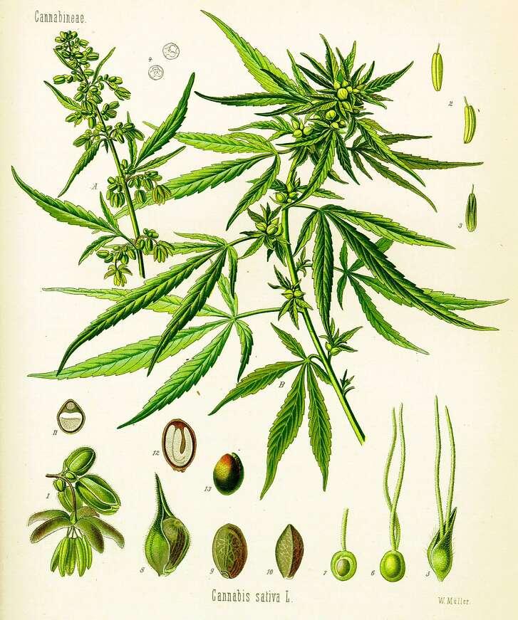 Cannabis sativa by Hermann Adolf K�hler, from a print made in 1887.  Image: Hermann Adolf Kohler