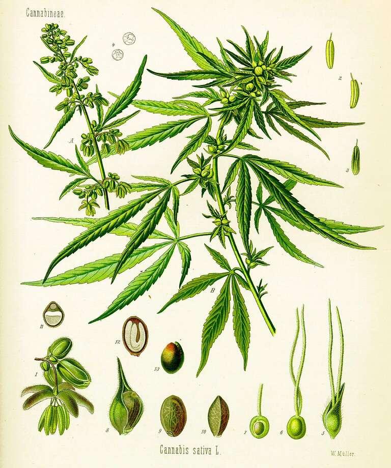 Cannabis sativa by Hermann Adolf Kohler, from a print made in 1887. Photo: Hermann Adolf Kohler