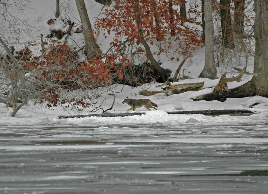 Species other than eagles visit the river during the winter months. Photo: Photo By Joan Meek