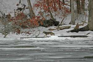 Species other than eagles visit the river during the winter months.