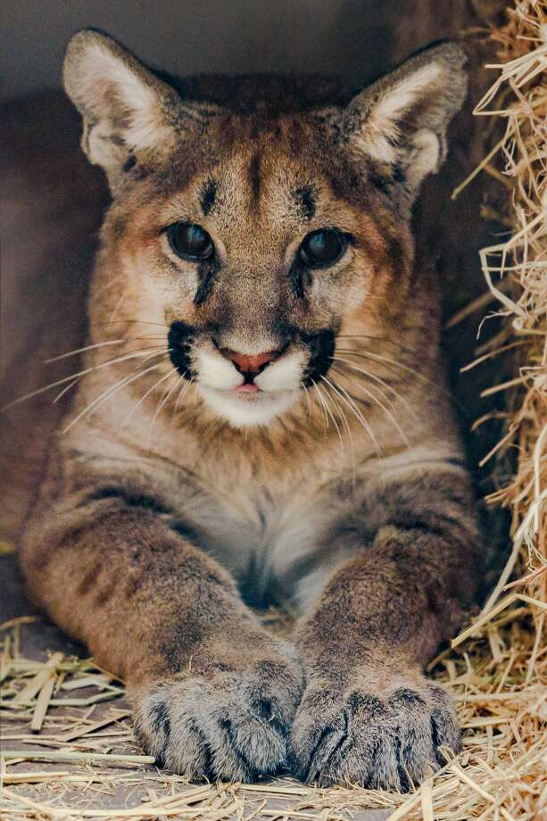 Two orphaned mountain lion cubs have been taken in by the Oakland Zoo. Photo: Steven L. Gotz/Oakland Zoo