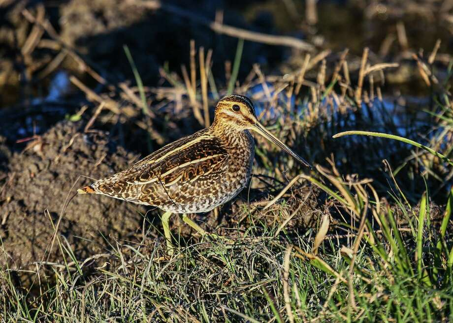 Shallow wetlands with a mix of low vegetation and open areas on Texas coastal prairie can hold large numbers of wintering Wilson's snipe, offering challenging opportunities for Texas wingshooters. The snipe season runs through Feb. 11. Photo: Shannon Tompkins