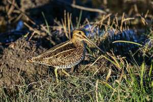 Shallow wetlands with a mix of low vegetation and open areas on Texas coastal prairie can hold large numbers of wintering Wilson's snipe, offering challenging opportunities for Texas wingshooters. The snipe season runs through Feb. 11.
