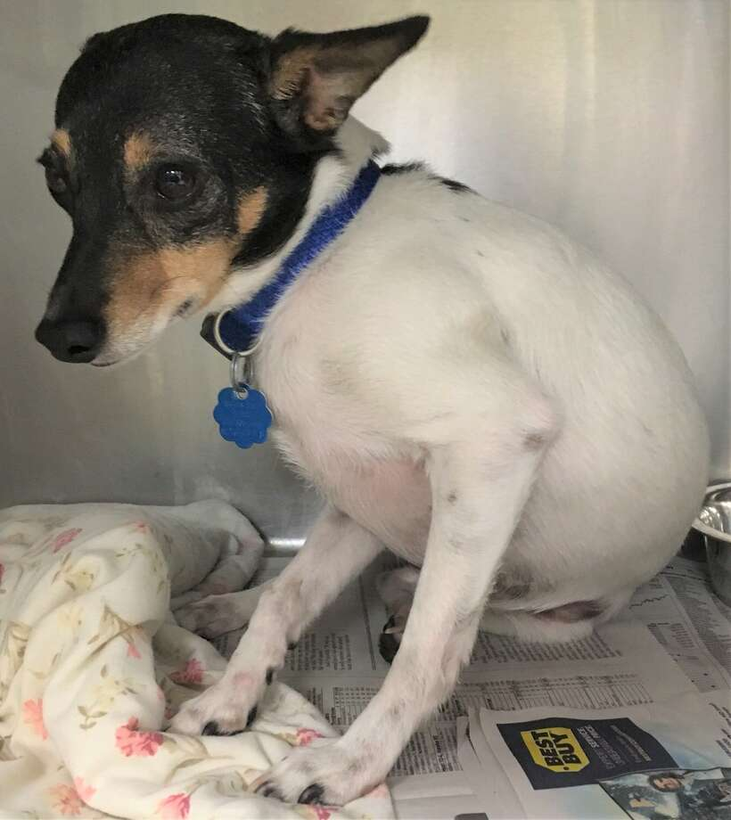 Ruby, a rat terrier, is still recovering in the ACS clinic after being thrown out of a second-story window. Photo: Contributed Photo