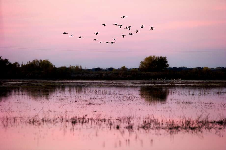 Sandhill cranes fly at the Woodbridge Ecological Reserve on Saturday, Nov. 18, 2017, in Lodi, Calif. Photo: Santiago Mejia, The Chronicle