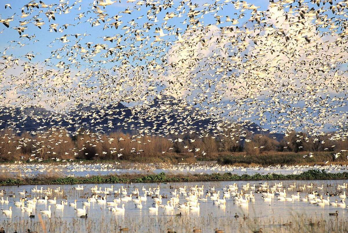 White geese take flight last year along the Colusa National Wildlife Refuge auto tour route. The Sutter Buttes are in the background. Refuge staff say (on Oct. 28, 2008) they don't yet have this heavy a concentration of geese, but their numbers are incre