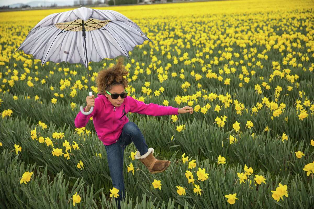 Gianna White steps over daffodils in Skagit Valley on Sunday, April 2, 2017. The bright, yellow flowers signal the beginning of spring.