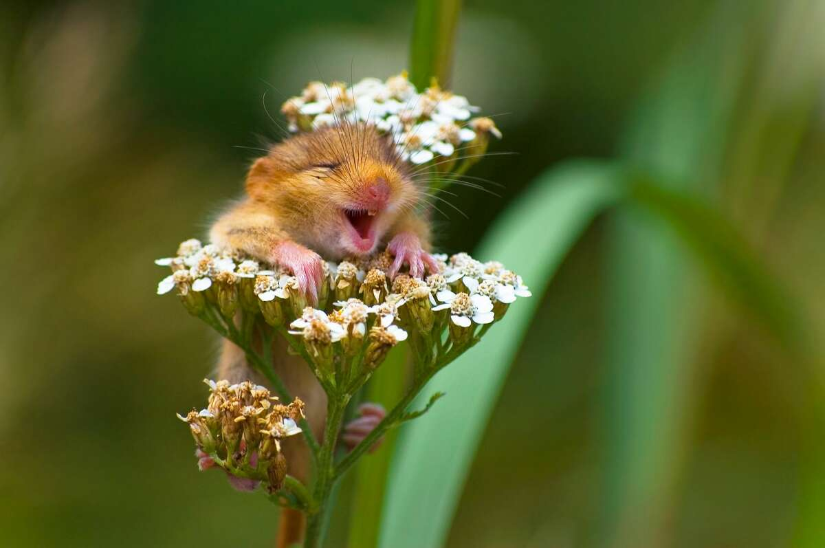 Photo by: Andrea Zampatti Location: Monticelli Brusati, Italy Details: A baby dormouse seems to be laughing on a yarrow flower Description: I was hiking on a mountain close to my hometown when I heard a strange squeaking from the woods and...I found this cute baby dormouse on the top of a yarrow flower! I took just one shot and...amazed, I saw this picture on the monitor of my camera!