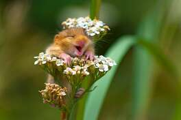 The Comedy Wildlife Photography Awards 2017 Andrea Zampatti Monticelli Brusati Italy  Title: The laughing dormouse Caption: A baby dormouse seem laughing on a yarrow flower Description: I was hiking on a mountain close to my hometown when I heard a strange squeaking from the woods and...I found this cute baby dormouse on the top of a yarrow flower! I took just one shot and...amazed, I saw this picture on the monitor of my camera! Animal: Dormouse (Muscardinus avellanarius) Location of shot: Italy