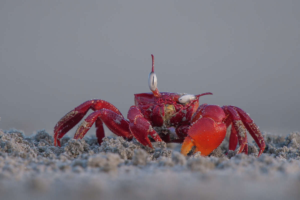 Photo by: Arkaprava Ghosh Location: West Bengal, India Details: A red ghost crab seen adjusting and cleaning one of its eyes at the Frazergunj beach in West Bengal, India. Description: The red ghost crabs are a treat to the eyes. When a large number of these crabs come out of their burrows, the section of the beach appears bright red. The eyes of the ghost crabs are supported on stalks and give them a wide field of vision. This helps them to spot the predators very quickly and vanish into their burrows in the sandy beaches. This individual was cleaning sand from its eyes after emerging from the burrow.
