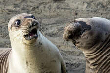 The Comedy Wildlife Photography Awards 2017 George Cathcart Bluffton United States  Title: WTF? Caption: Good god, man, what is wrong with you? Description: Young elephant seal reacts to his friend's revelation that he voted for Brexit. (Elephant seals are marine mammals, but they are hardly ever photographed underwater, and they spend inordinate amounts of time on the beach, to mate, to give birth and to just lie around. So I'm entering this in Creatures of the Land, because that's where it was when I photographed it.) Animal: Northern Elephant Seal (Mirounga angustirostris) Location of shot: Piedras Blancas Elephant Seal Rookery, San Simeon
