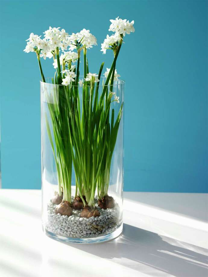 Paper-white narcissus can grow in water and pebbles. Photo: Kate Mathis / (c) Kate Mathis
