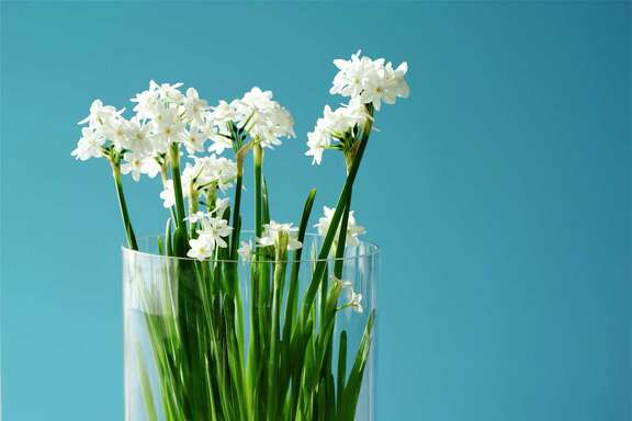 Paper-white narcissus can grow in water and pebbles.