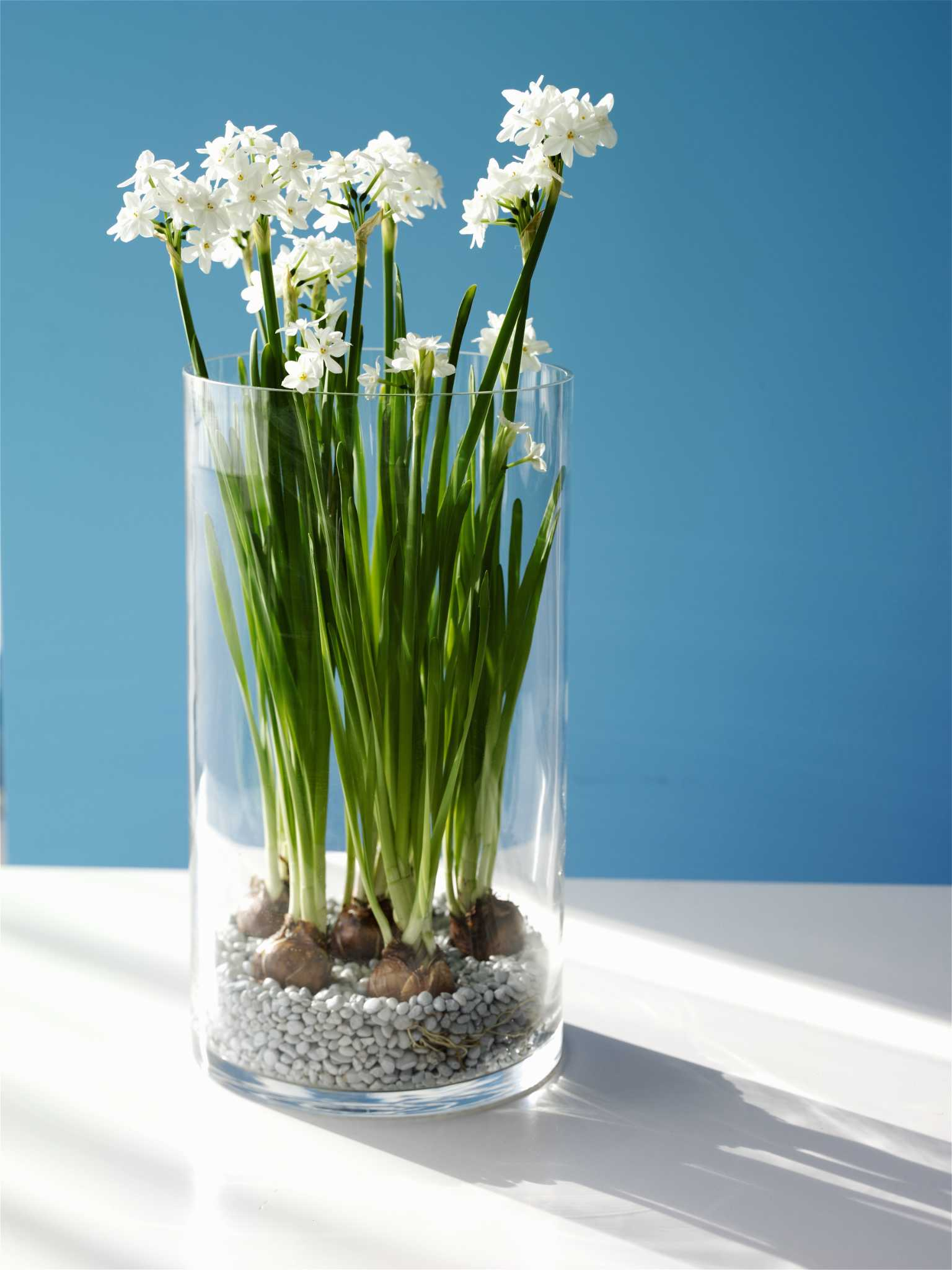 Paper Whites Offer Winter Pick Me Up Houstonchronicle