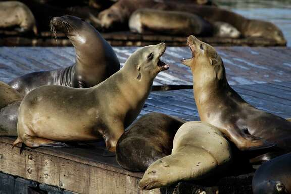 FILE - In this Oct. 15, 2010, file photo, sea lions bark at each other at Pier 39 in San Francisco. San Francisco authorities say, Friday, Dec. 15, 2017,  a second swimmer has been injured by a sea lion and that the cove where the attacks happened has been closed to swimmers.