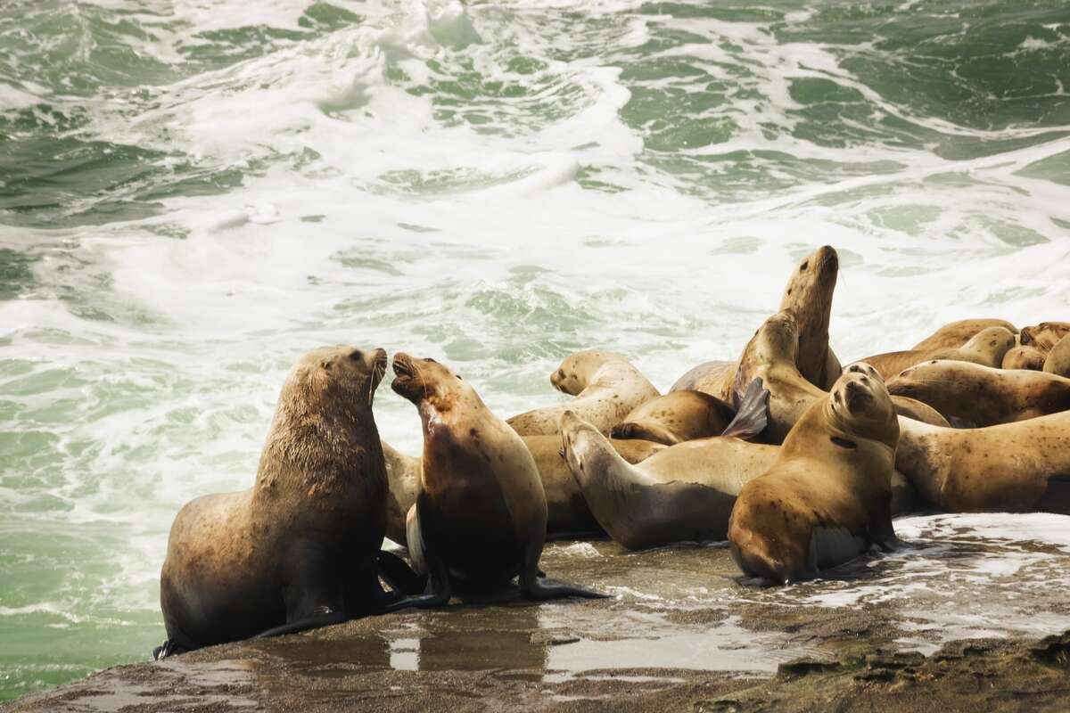 Sea lions on the edge of the Pacific Ocean along the West Coast Trail, Pacific Rim National Park, British Columbia
