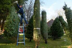 Ryan Kleinke Kitchen pulls the netting off of a tall Christmas tree as he sets up the display of trees at the Kleinke Farm on Tuesday, Nov. 21, 2017, in Glenmont, N.Y.  This is the first year that the farm is staying open through Christmas and selling trees and other Christmas items.   (Paul Buckowski / Times Union)
