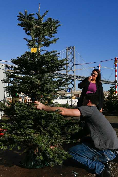Claudia Landivar looks over the tree one last time after finding the perfect one at the Delancey Street Foundation's lot. Photo: Amy Osborne, Special To The Chronicle