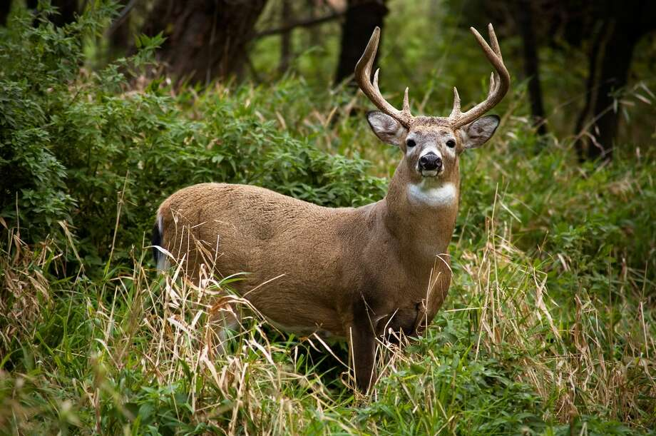 In this file photo, a whitetail buck in shown. Photo: Getty Images