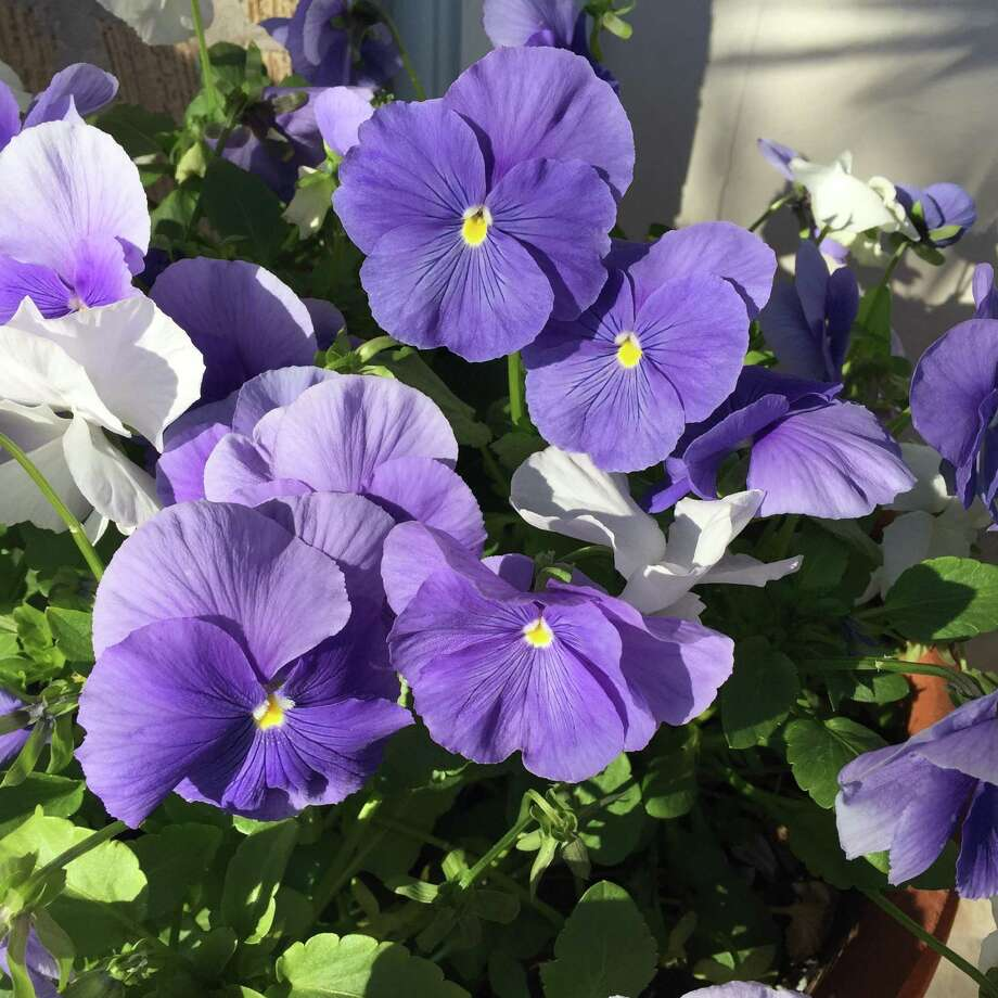 Today's pansy hybrids bloom much more heavily than those old varieties of our childhood. Even when we let them go to seed, they just keep on blooming. The theory we used a generation or two ago was that the seeds sapped the vigor of the plants, but that's no longer the case. Photo: Courtesy Photo